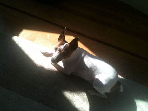 Lost Jack Russel Dog